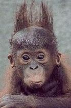 Macaco de cabelo em pé