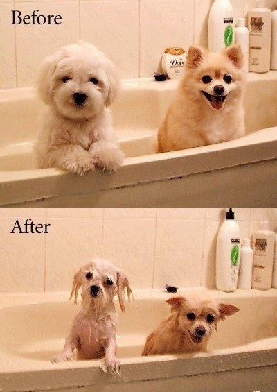 Cachorros antes e depois de tomar um banho