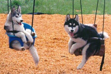 Cachorros no balanço