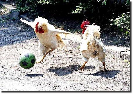 chicken play soccer galinhas jogando futebol galo jogando bola galo futebol