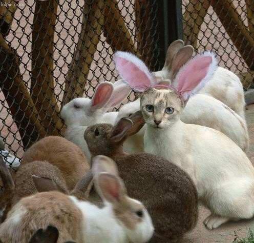 Gato camuflado de coelho