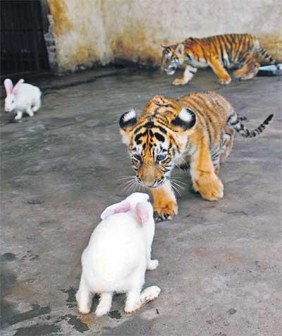 Tigres comendo coelhos