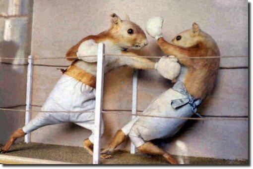 hamster lutando boxe