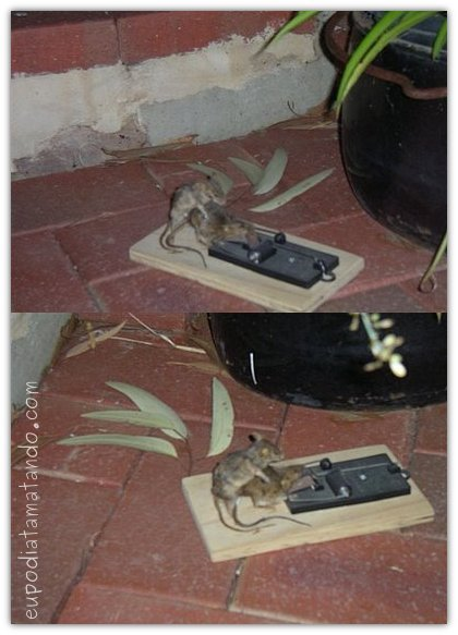 ratos ratoeira transando