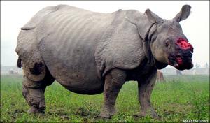 Rinoceronte sobrevive após ter seu chifre arrancado